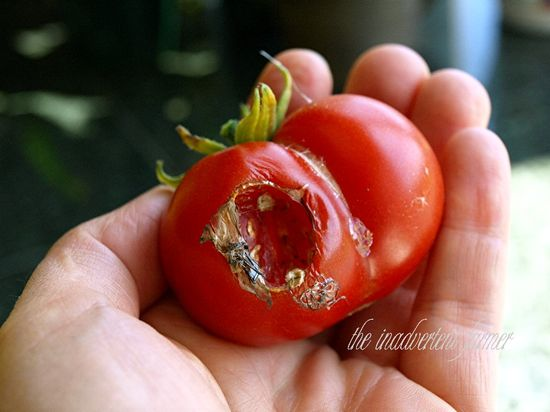 Tomato in hand slug ate red