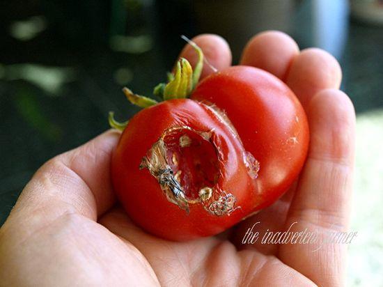 Tomato in hand slug ate red