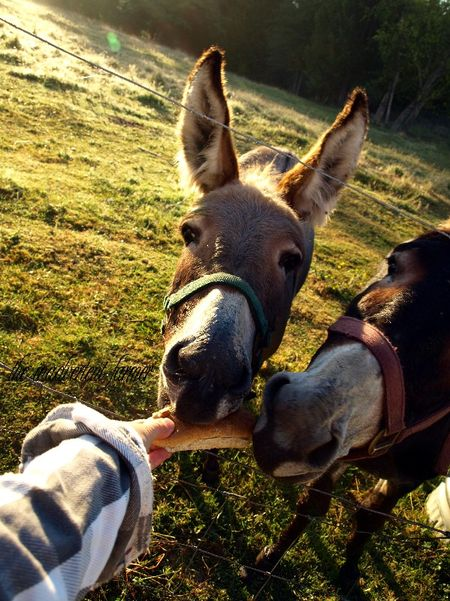Donkey treat eat