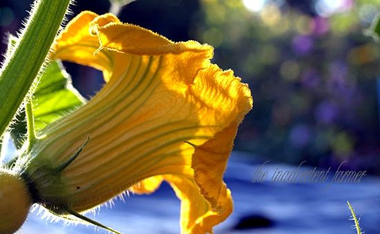 Squash blossom bloom dawn