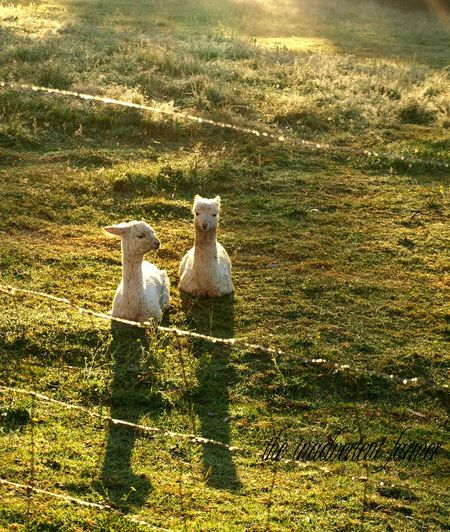 Alpaca cria white sunrise shadow farm