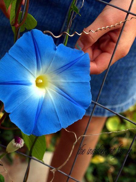 Morning glory bloom blue
