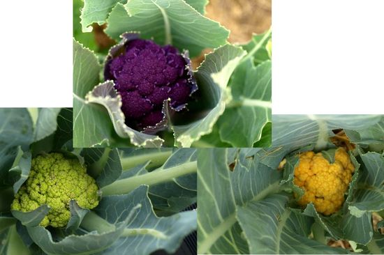 Colorful cabbage family