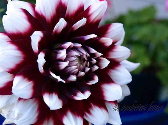 Dahlia white red macro flower