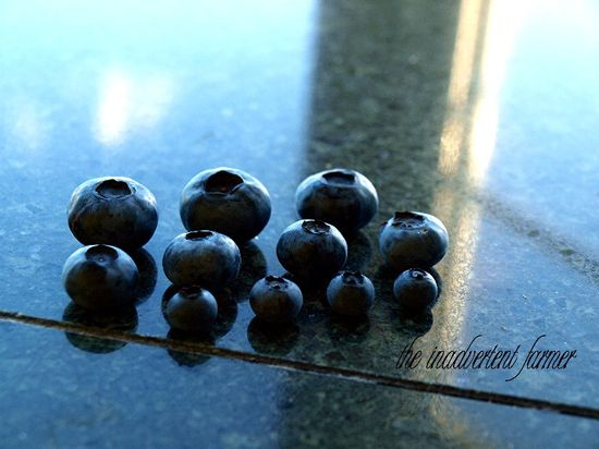 Blueberries big little medium
