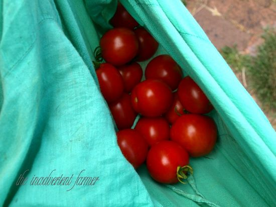 Tomatoes in skirt garden