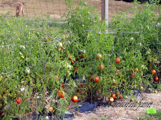 Tomato patch late summer