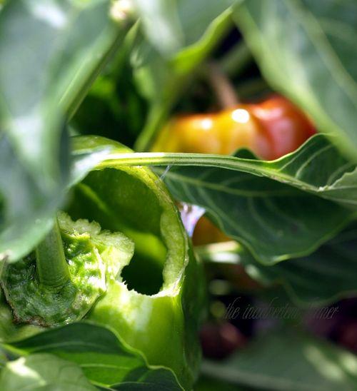 Peppers bell slug damage